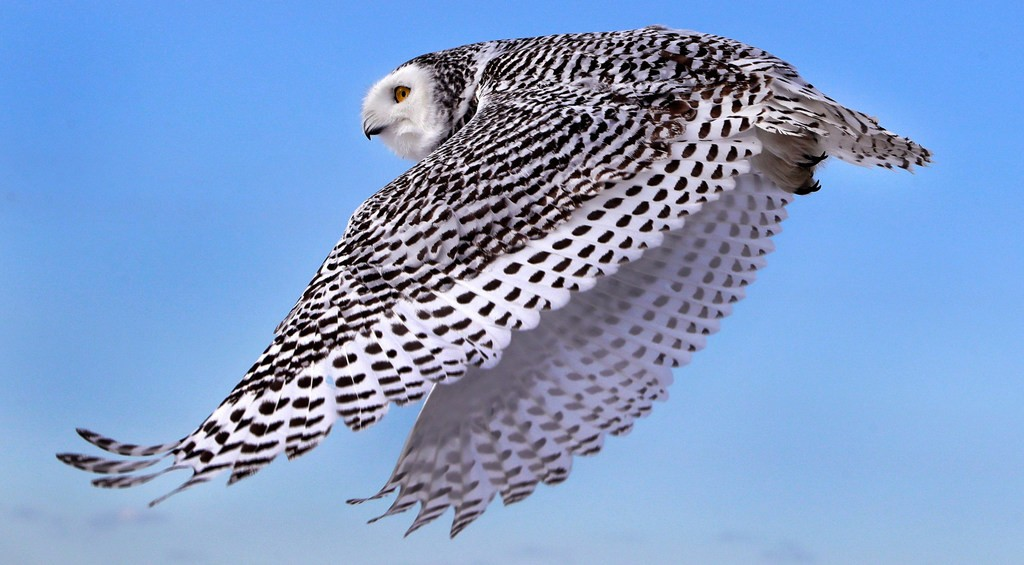 A snowy owl, coming soon to a lakefront near you - CHARLES KRUPA