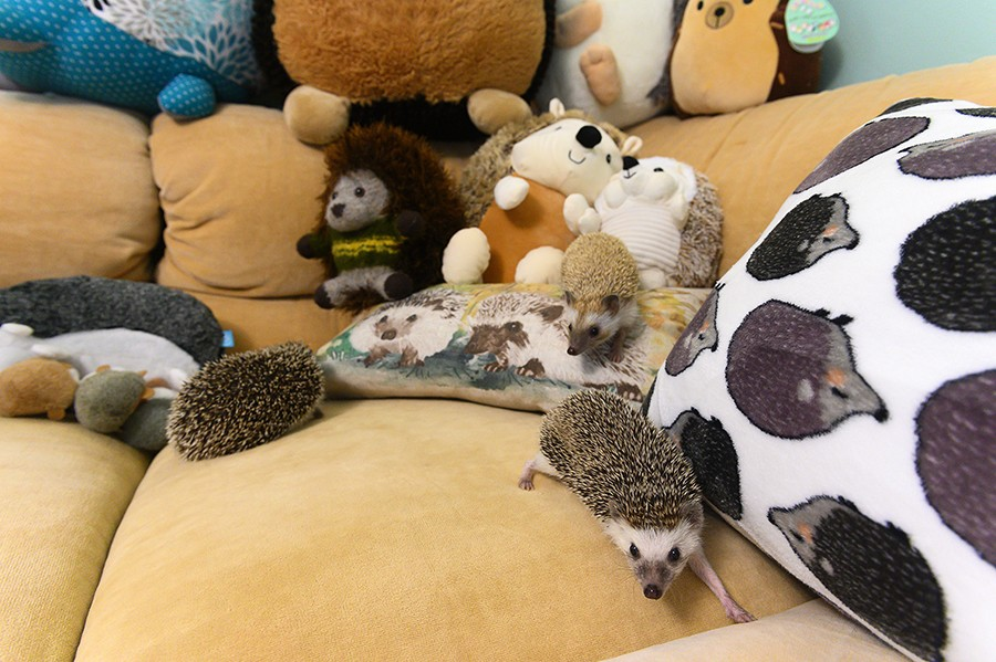 Hedgehogs loose on the couch. The couple began collecting various hedgehog items after they began dating long before they became breeders. Many of these items can be found outside of their hedgehog room. - GONZALO GUZMAN