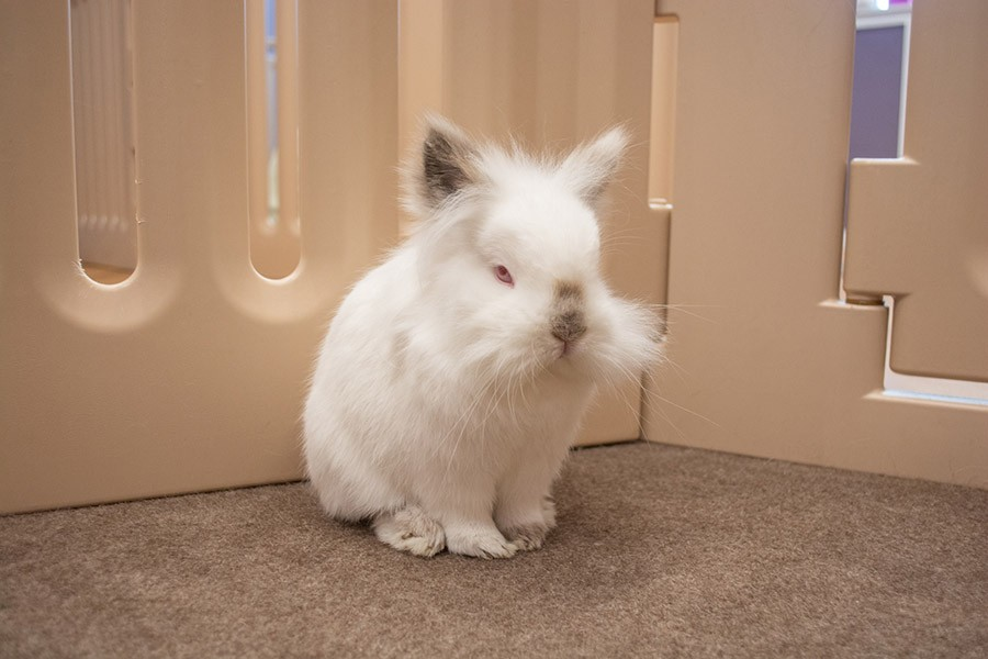 Lola is a himalayan and lionhead mix who loves to be scratched between the ears. - ORIANE PLAYNER