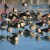 A day in the life of Chicago's Canada Geese