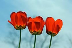 CHRISTINE SCHUKOW - 2014 Tulip Festival Photo Contest - 2nd Place Winner