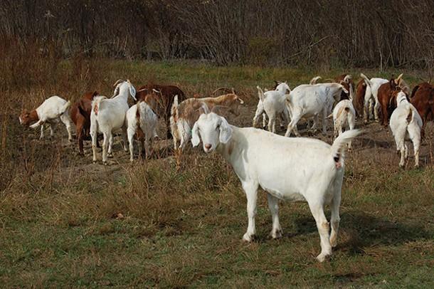 A herd of Kiko-Boer goats browsing at Karl Family Farms in Modena. - EVE FOX