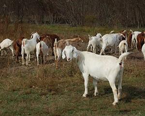 A herd of Kiko-Boer goats browsing at Karl Family Farms in Modena.