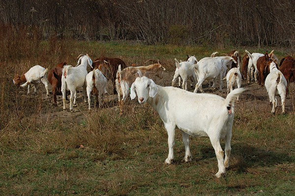 A herd of Kiko-Boer goats browsing at Karl Family Farms in Modena. - EVE FOX