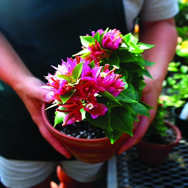 A miniature bougainvillea needs abundant light but stays small. - LARRY DECKER