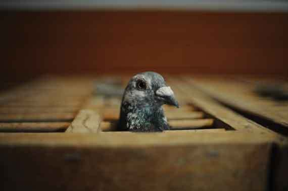 A racing pigeon in a traveling case. - ROY GUMPEL