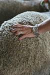 A sheep at White Barn Farm in New Paltz