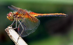 ANDRÉ KARWATH AKA AKA - A side view of an about 1.6 inch (4 cm) large Yellow-winged Darter (Sympetrum flaveolum).
