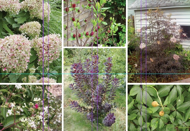 All photos by Michelle Sutton except for the black lace elderberry, by John Dean. - Clockwise from upper left: Limelight Hydrangea, Sweetshrub, Black Lace Elderberry, Bottlebrush Buckeye, Purple Smokebush, Seven-son Flower.