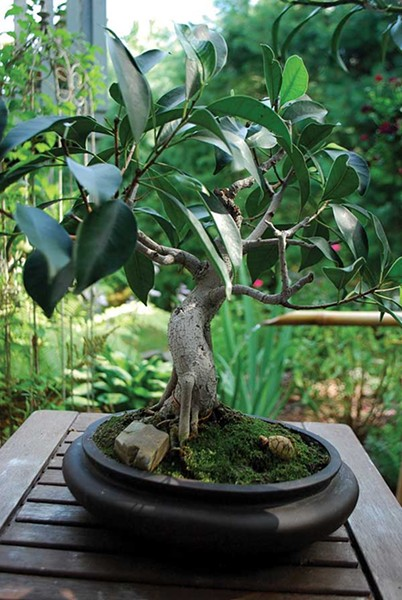 An honest oversight had big consequences for a bonsai collection, as nurseryman Drew Zantopp tells in this story.