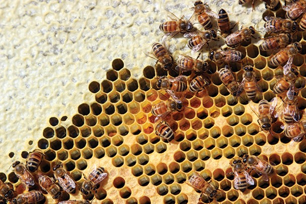 Bees busy storing honey (light yellow) and pollen (dark yellow) to feed the hive through the coming winter. - PETER BARRETT