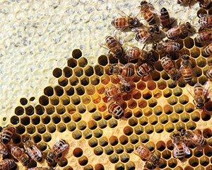 Bees busy storing honey (light yellow) and pollen (dark yellow) to feed the hive through the coming winter.
