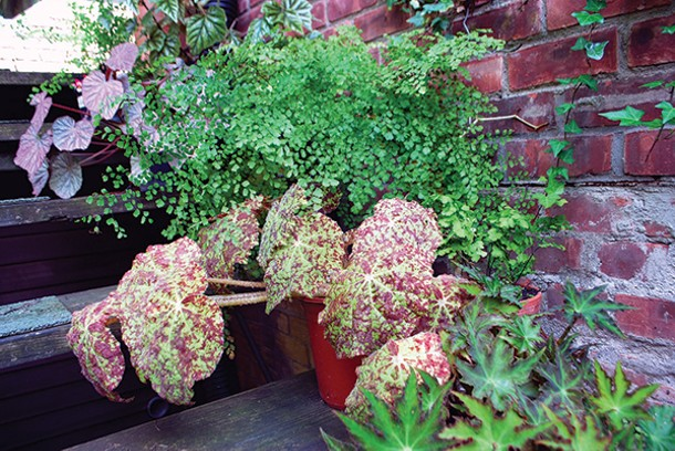 Begonias and ferns: the single-species containers approach.