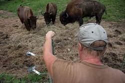 Bison at the Highland Deer Farm. - ROY GUMPEL