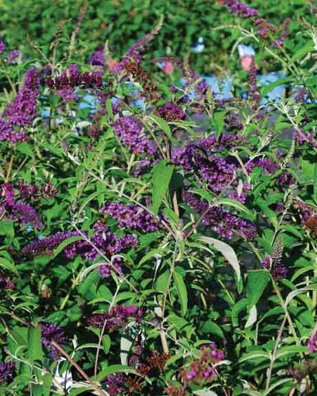 Butterfly bushes can be planted or transplanted. - LARRY DECKER