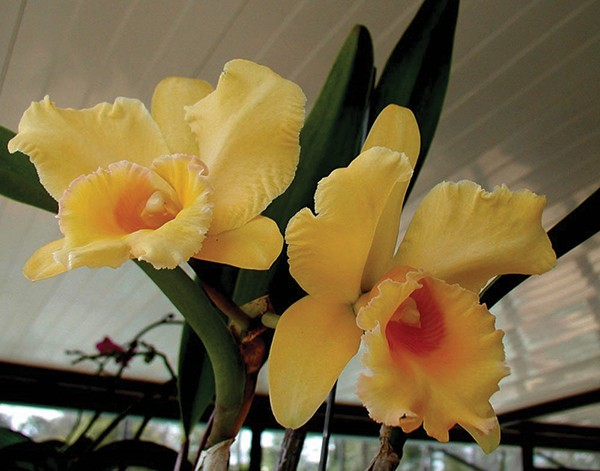 Cattleya orchids need a good deal - of light for optimum bloom.