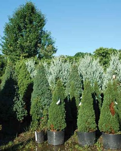 Container-grown evergreens in the Adams Fairacre Farms nursery. - LARRY DECKER