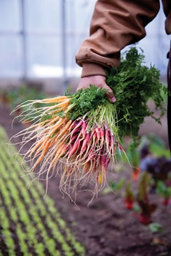 Cosmic and mokum carrots, plucked from the greenhouse at Stone Barns, moments before being taken to market. - JENNIFER MAY