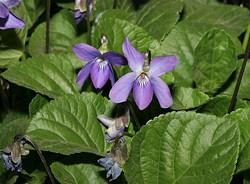 sweet_violet_jpg-magnum.jpg