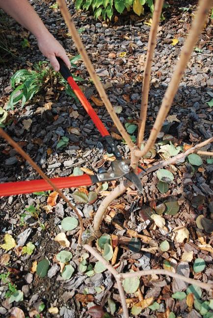 Blue Mist Spirea Branches Pruned Partway