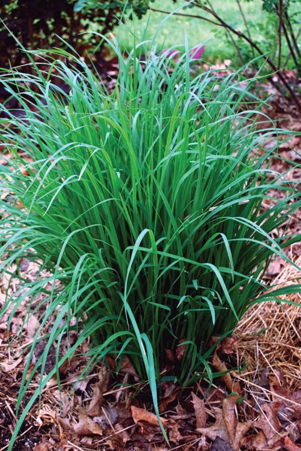 Deer-resistant big bluestem grass.