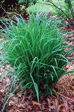 Deer-resistant big bluestem grass.