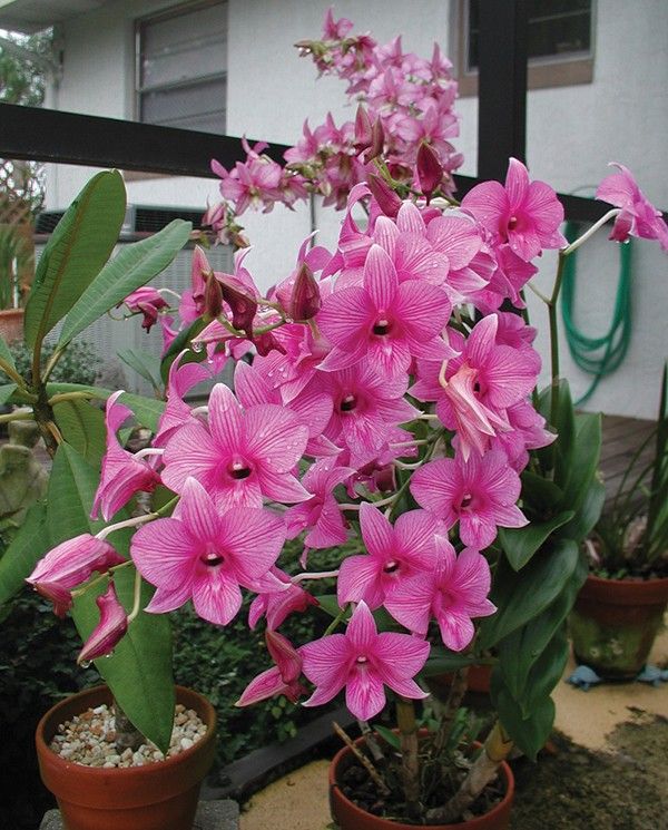 "Dendrobium orchids sometimes bloom in ""sprays"" rather than as single large blooms."