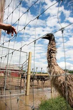 Emu at the Highland Deer Farm. - ROY GUMPEL