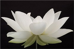 white_lotus-01.jpg