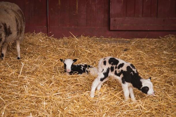 Farm animals at Muscoot Farm near Katonah.