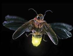 firefly_lights_up.jpg
