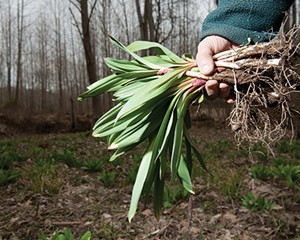 Foraging for ramps in Ulster County. Ramp Fest will take place at Basilica Hudson on May 4.