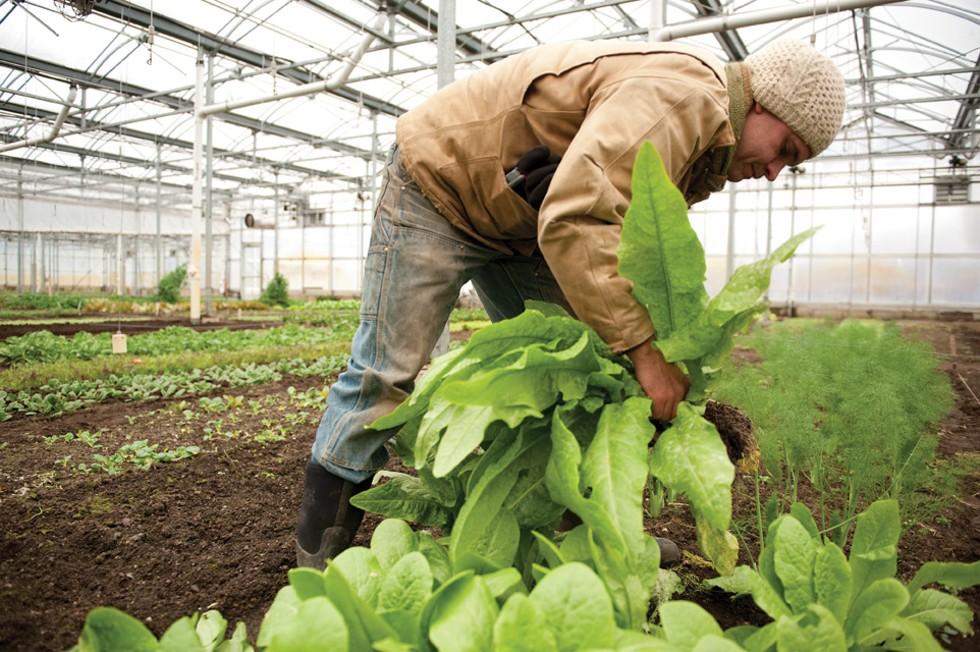 Four-season farm manager Jack Algiere plucks celtuse from the greenhouse.