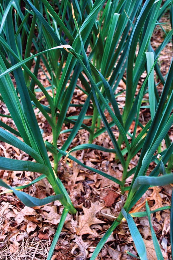 Garlic coming up through leaves left in the garden.