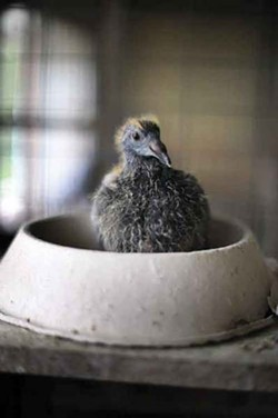 Homing pigeon at 15 days old. - ROY GUMPEL