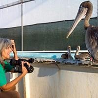 Pelican Dreams: A Broken Wing in the Windy City