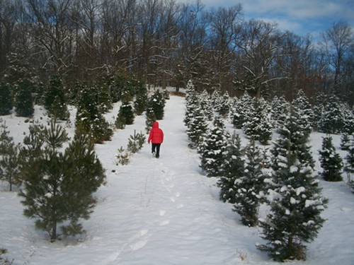 Looking for the perfect tree at Battenfelds Christmas Tree Farm