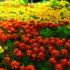 Keeping Your Annuals in Bloom