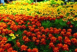 Marigolds - LARRY DECKER
