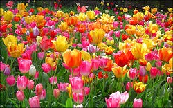 ae24986f_tulips.jpg