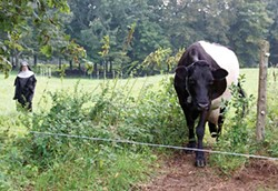 Mother Telchilde Hinckley moves the cows to fresh grass. - PETER BARRETT