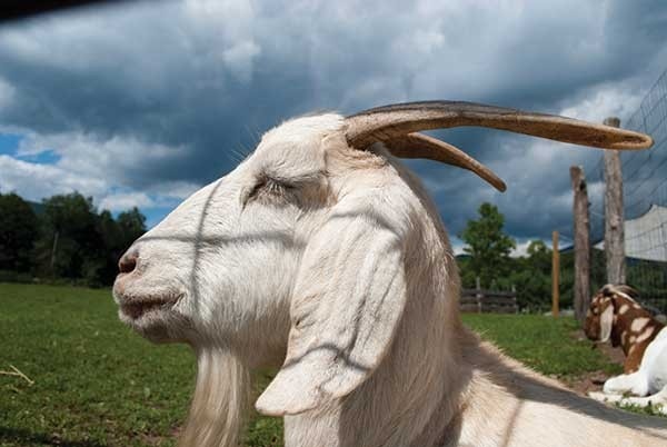 One of the resident goats at Woodstock Animal Sanctuary.