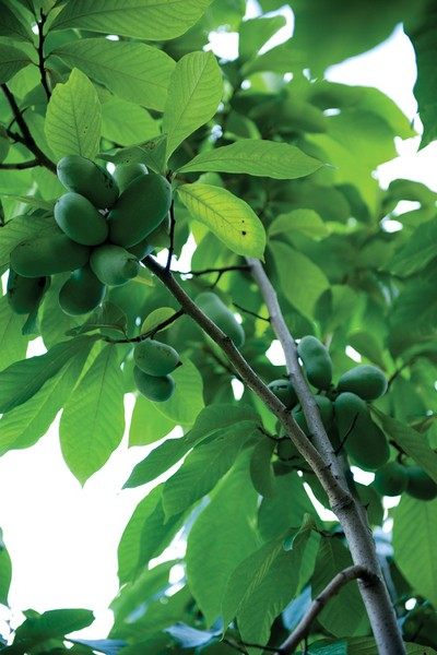 """Pawpaw fruit ripening on a tree. Pawpaws are one of Lee Reich's favorite plants in an edible landscape. The plant is cold-resistant, the tree is attractive, deer are usually not interested in them, and in his book Landscaping with Fruit Reich describes the flavor of the abundant fruit as """"very much like banana or vanilla custard along with hints of pineapple, mango, and avocado."""" - JENNIFER MAY"""