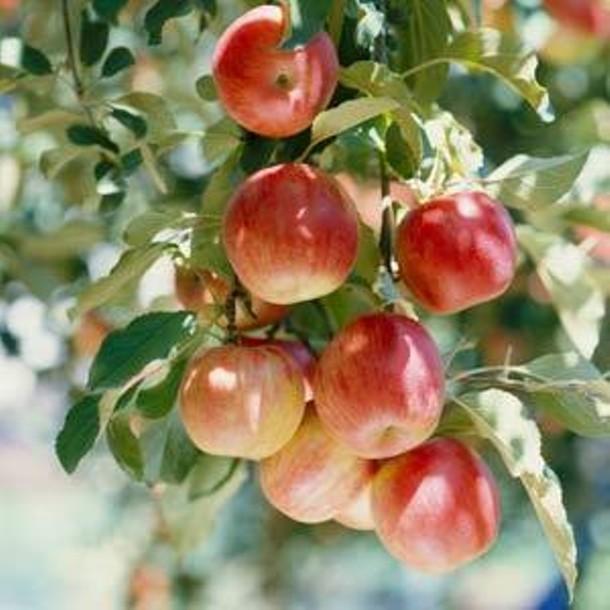apple-tree.jpg