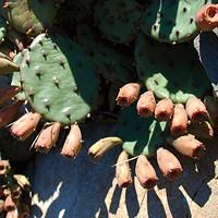 Hortus Conclusus Prickly pear cactus