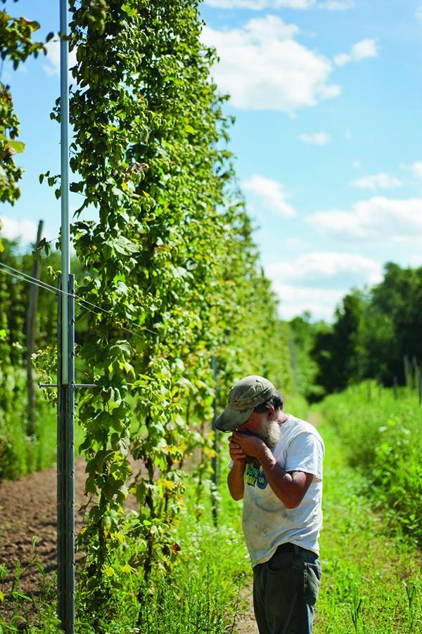 Ray Bradley of Bradley Farm in New Paltz smelling the hops. - ROY GUMPEL