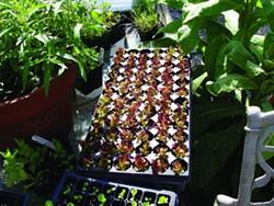 c20ff09e_lettuce_seedlings.jpg