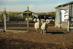 Sheep at Elsa's Organics - KELLY MERCHANT