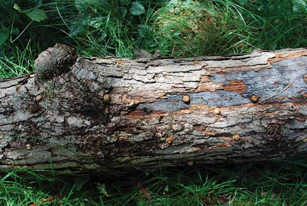 Shiitake plugs newly hammered into oak wood.