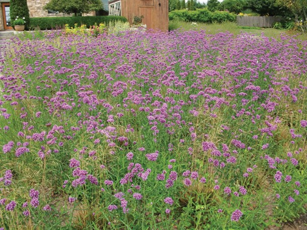 Tall verbena (Verbena bonariensis) reseeds beautifully. - LARRY DECKER